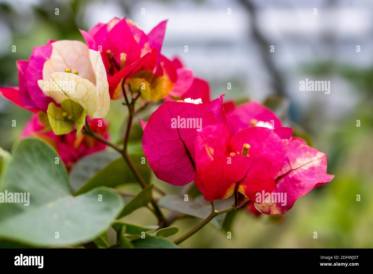 Colorful Bougainvillea branch with flower and leaves in the garden Stock Photo