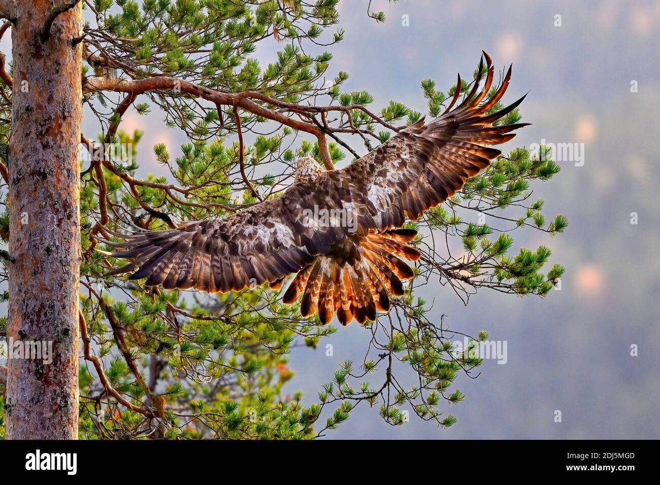 Golden eagle is landing on the pine tree Stock Photo
