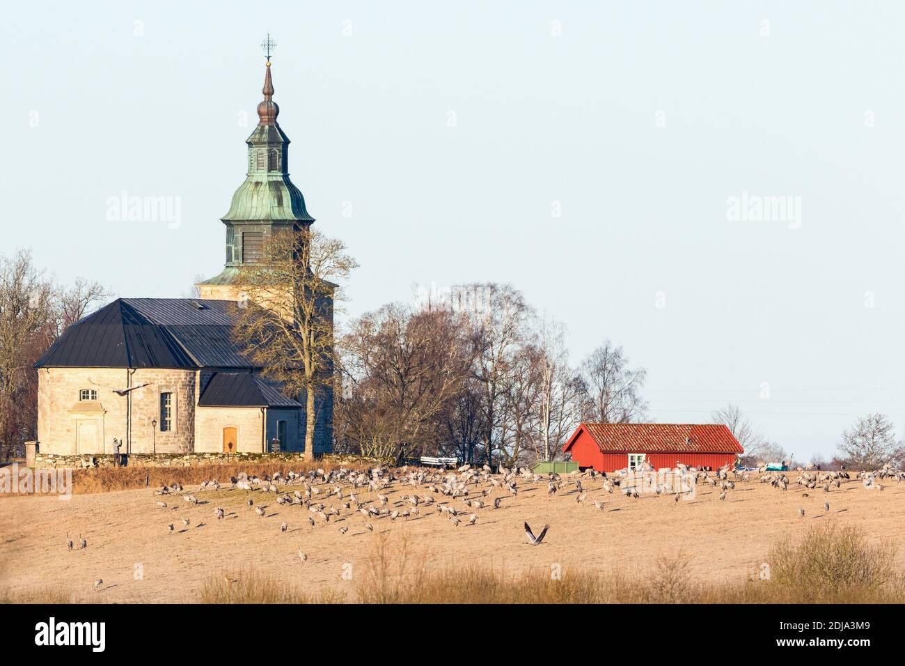 Cranes on the field at Bjurum church by the lake Hornborgasjon Stock Photo