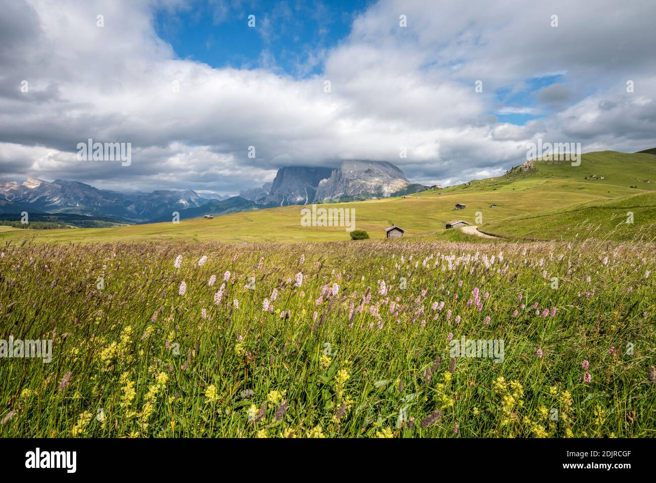 Seiser Alm, Castelrotto, South Tyrol, Bolzano Province, Italy. Flower meadow on the Alpe di Siusi, with the Sassolungo in the background Stock Photo