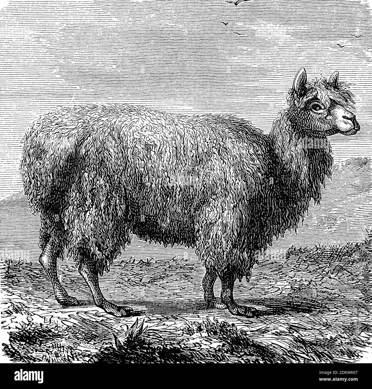 Camel Llama Guanaco Alpaca Breeds Infographic