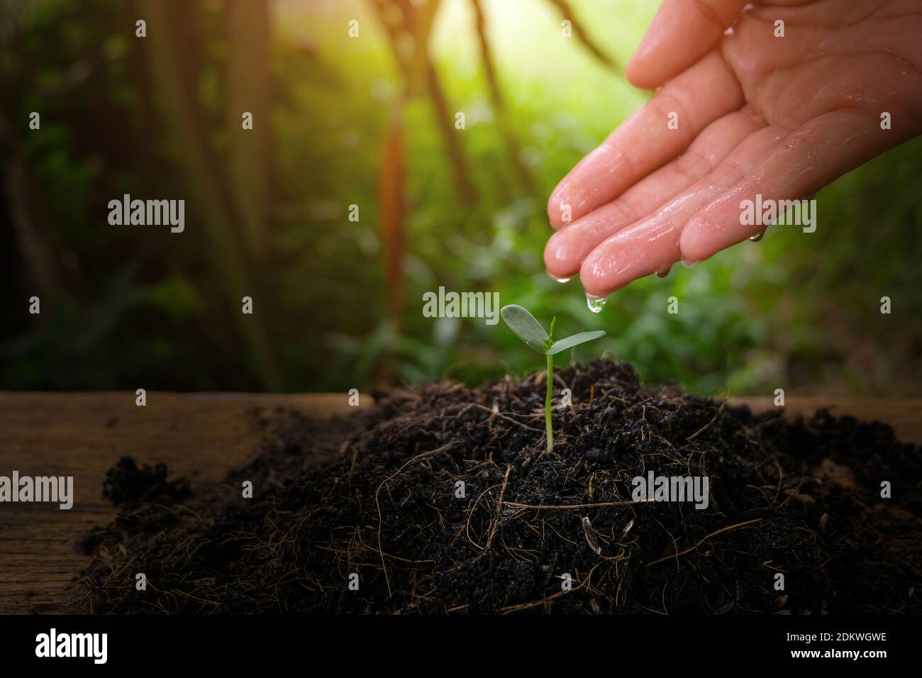 Close-up Of Hand Watering Seedling On Field Stock Photo