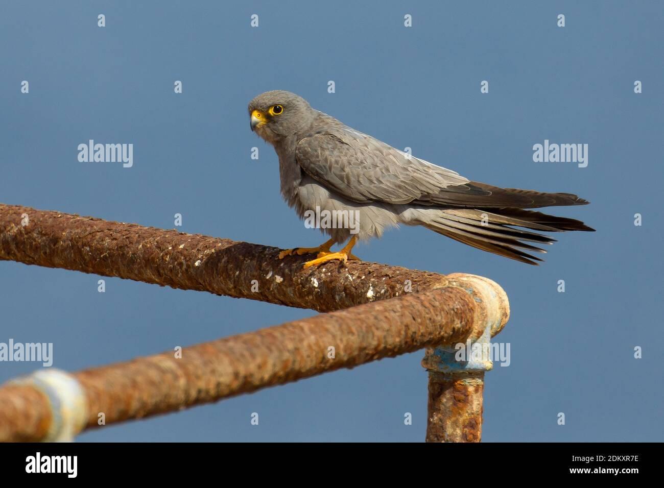 Woestijnvalk zittend op scheepswrak; Sooty Falcon perched on ship wreck Stock Photo