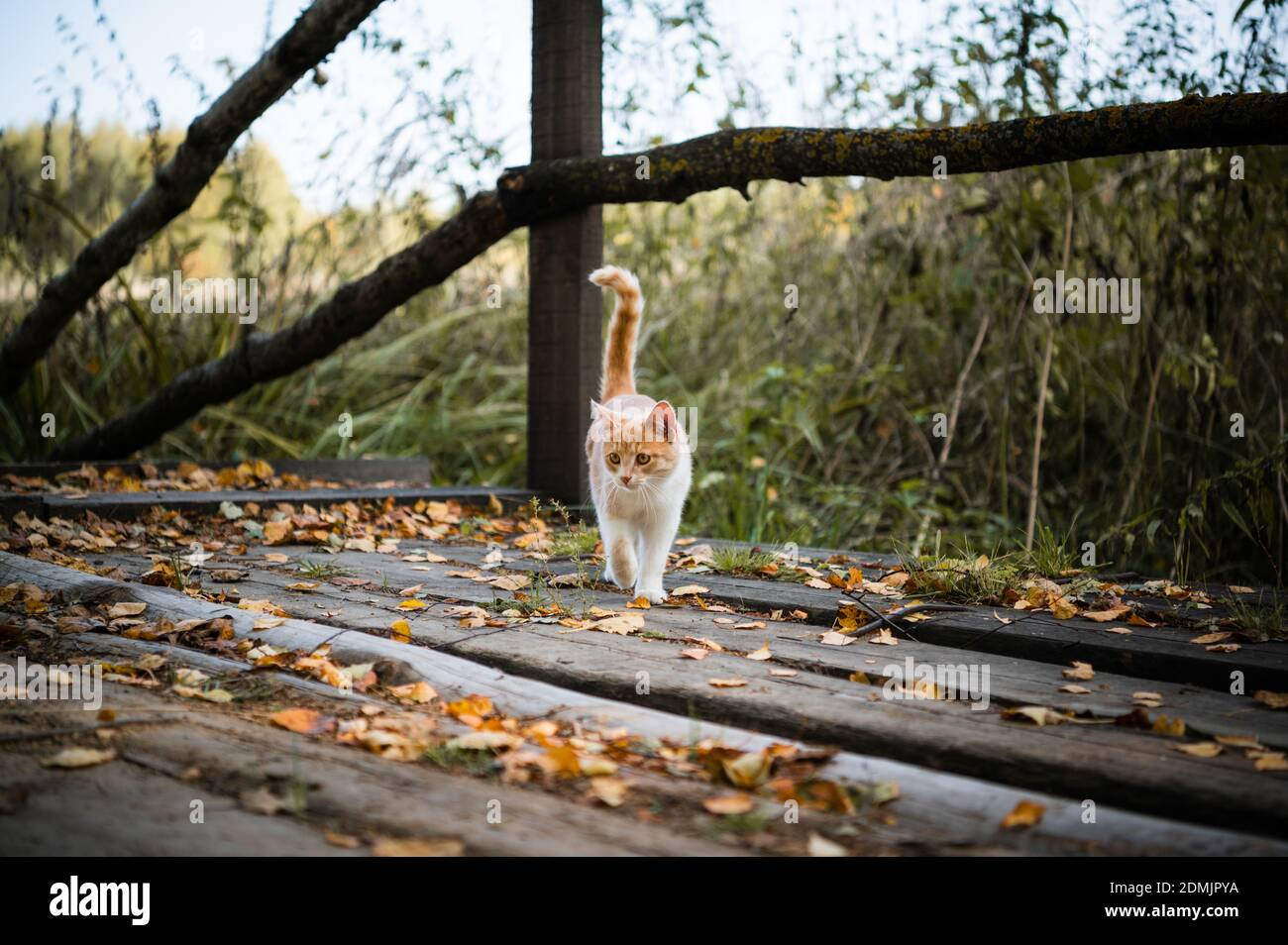 Cute kitten first went for a walk in the forest, playing with leaves on a wooden bridge. Stock Photo
