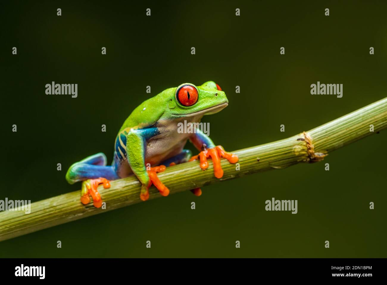 Red-eyed tree frog (Agalychnis callidryas) - closeup with selective focus. Stock Photo