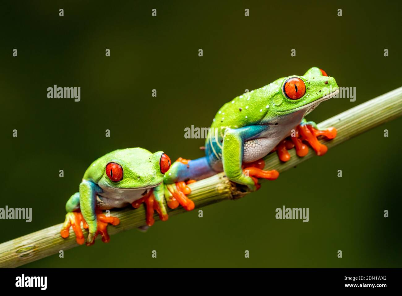 Red-eyed tree frogs (Agalychnis callidryas) - closeup with selective focus. Stock Photo