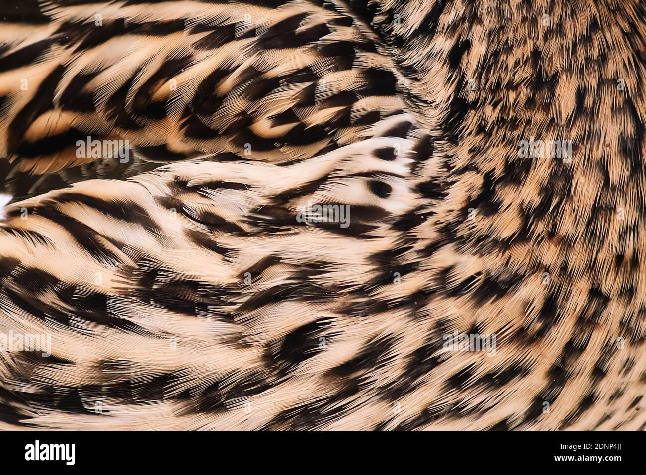 Bird feathers close up. Wild duck wing. Texture for design. Stock Photo