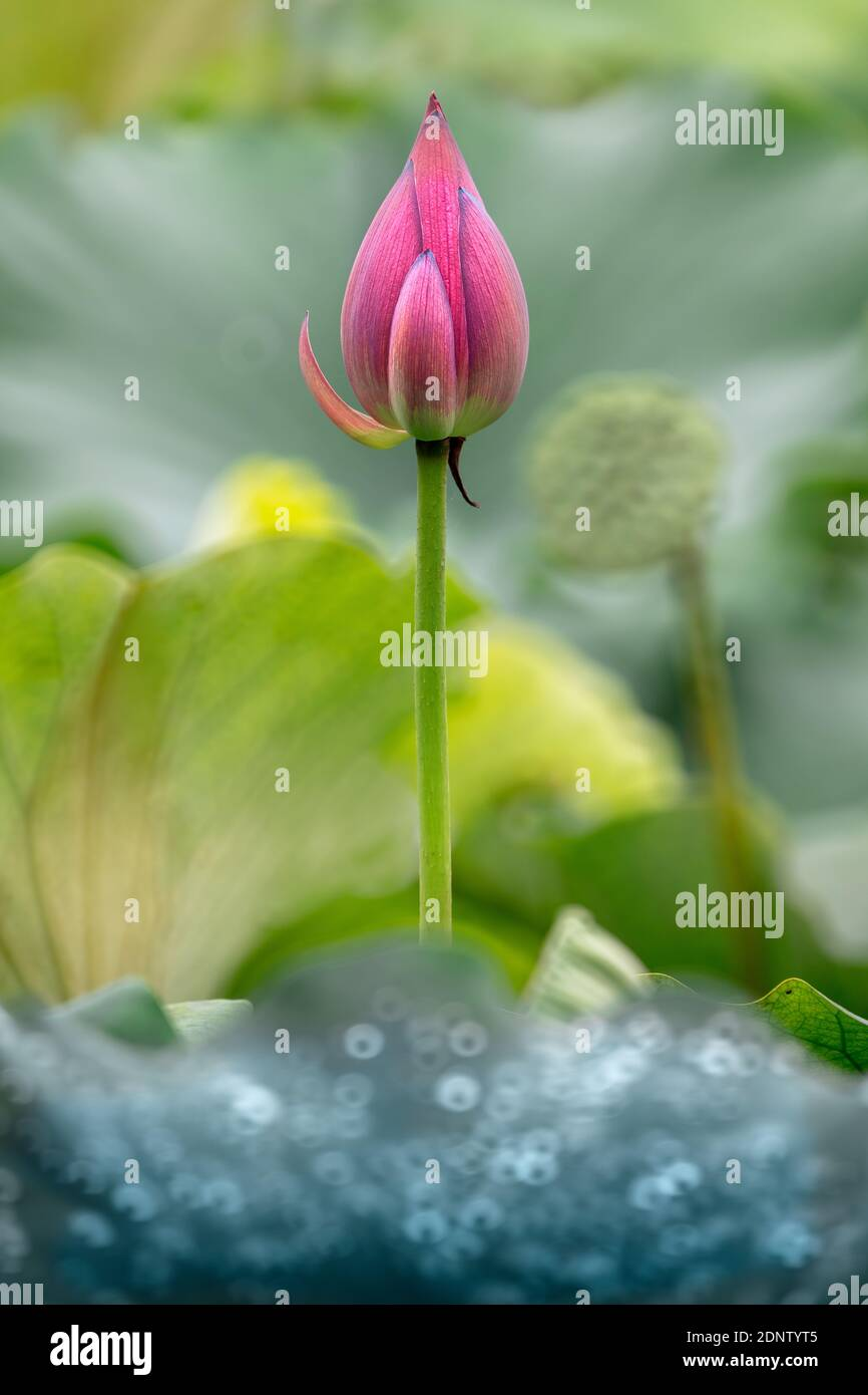 Lotus Images High Resolution Stock Photography and Images   Alamy