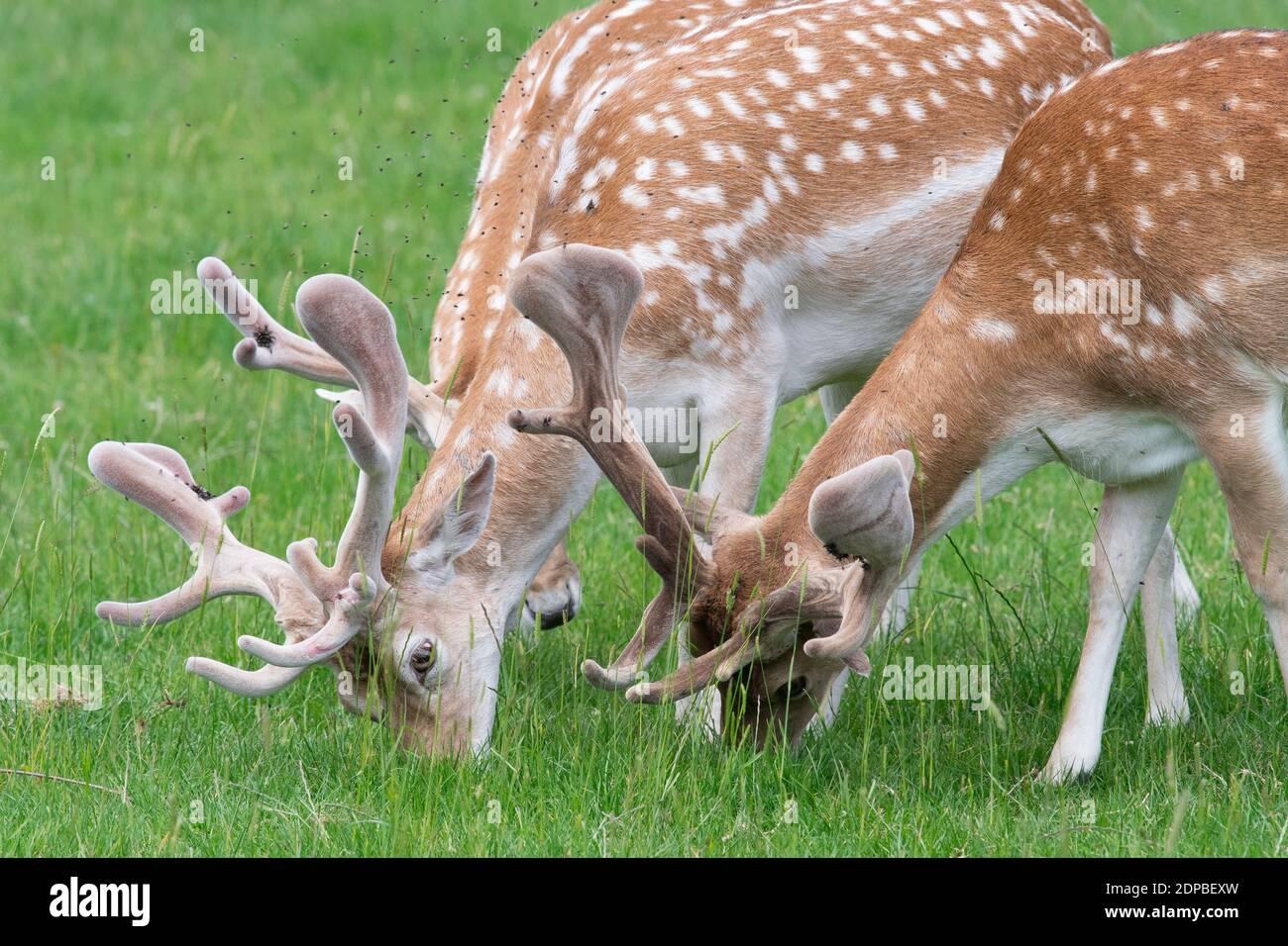 Deer Grazing In A Field Stock Photo