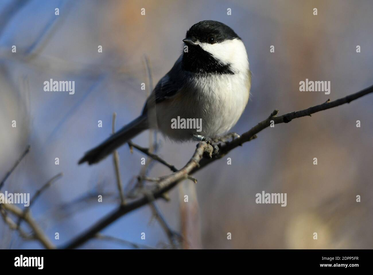 Calgary, Alberta, Canada. 19th Dec, 2020. A Black Capped Chickadee perches on a branch at the Inglewood Bird Sanctuary in Calgary, Alberta. The songbird is found across the northern United States and most of Canada, and is the state bird of Maine and Massachusetts. Credit: Gavin John/ZUMA Wire/Alamy Live News Stock Photo