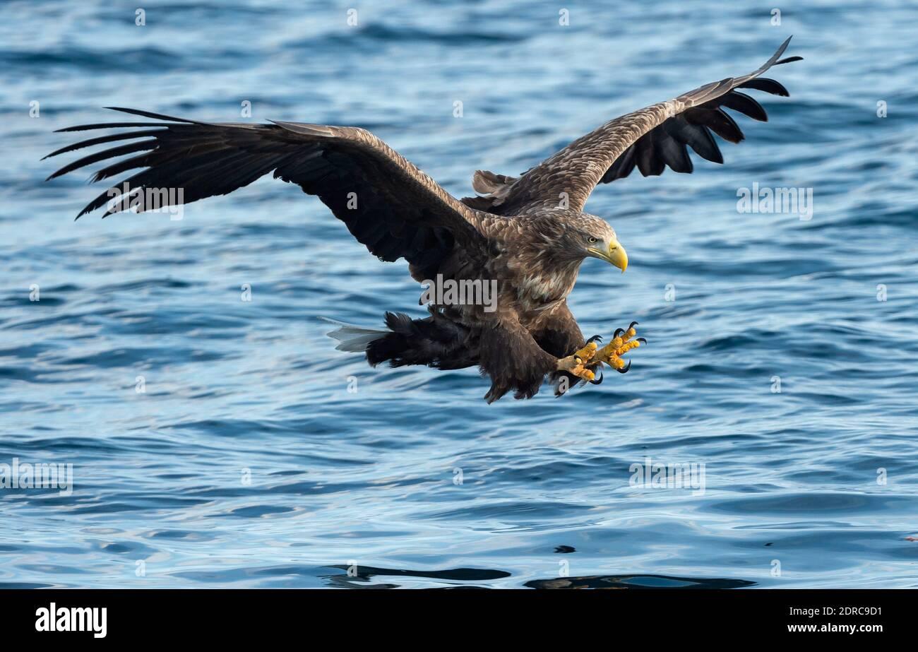 Adult White-tailed eagle fishing. Blue Ocean Background. Scientific name: Haliaeetus albicilla, also known as the ern, erne, gray eagle, Eurasian sea eagle and white-tailed sea-eagle. Natural habitat Stock Photo
