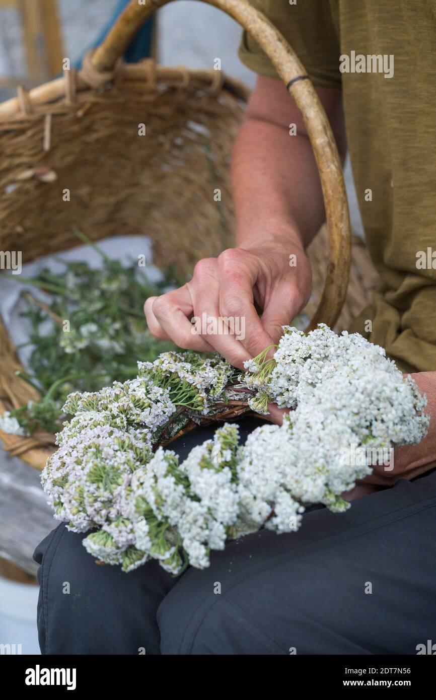 common yarrow, milfoil (Achillea millefolium), self-tied yarrow wreath , Germany Stock Photo