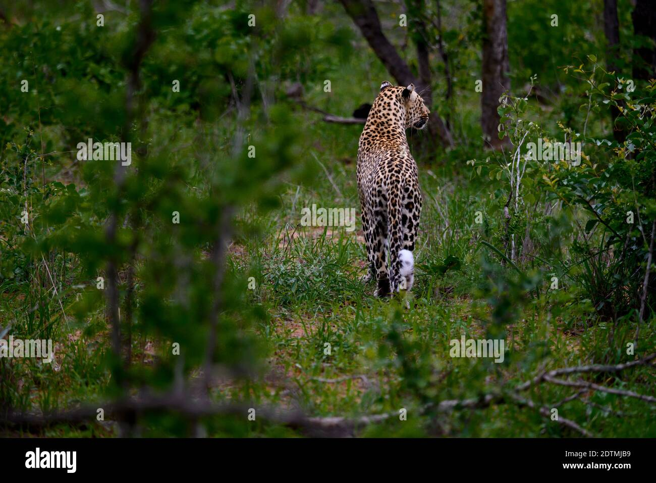 hunting leopard Stock Photo