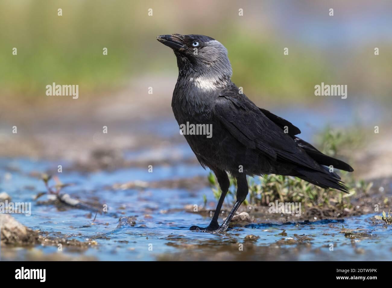 Kauw; Eurasian Jackdow; Corvus monedula Stock Photo