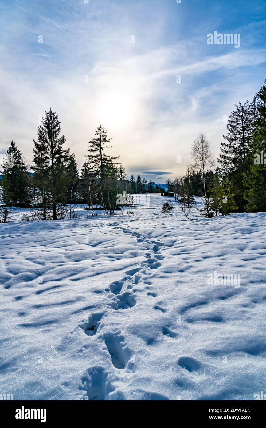 winter in the high moor of Bildstein. snowy landscape with meadow and single tree, forest and foot trails. verschneites Hochmoor in Vorarlberg Austria Stock Photo