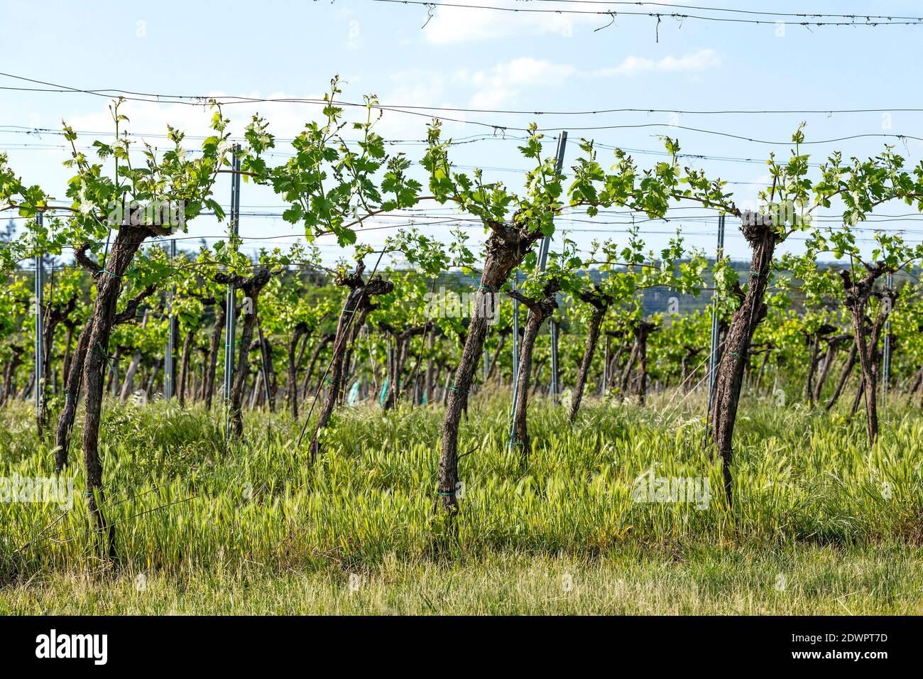 Weingarten im Frühling Stock Photo
