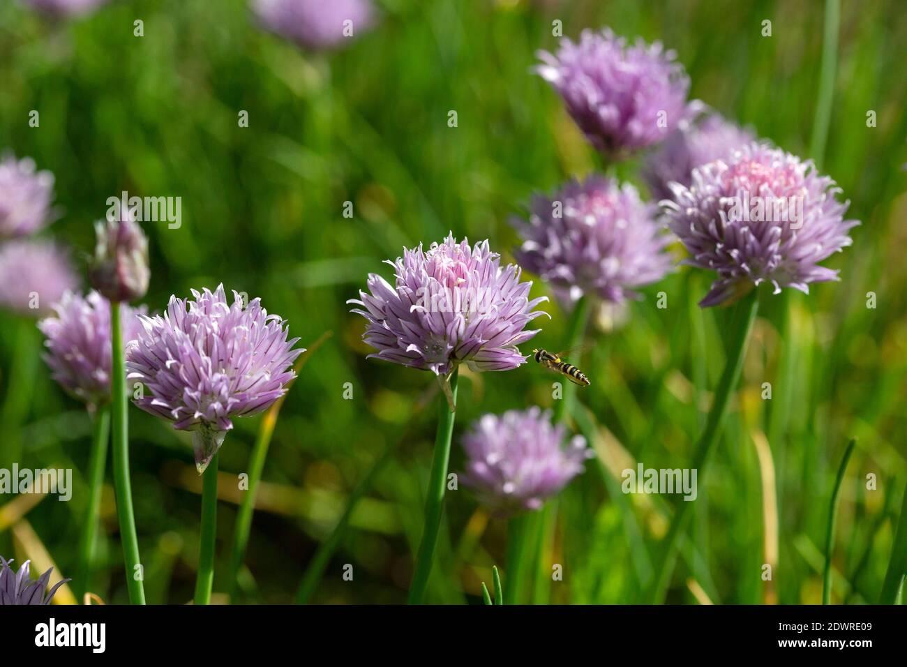 Schnittlauch, Blüten mit Schwebfliege Stock Photo