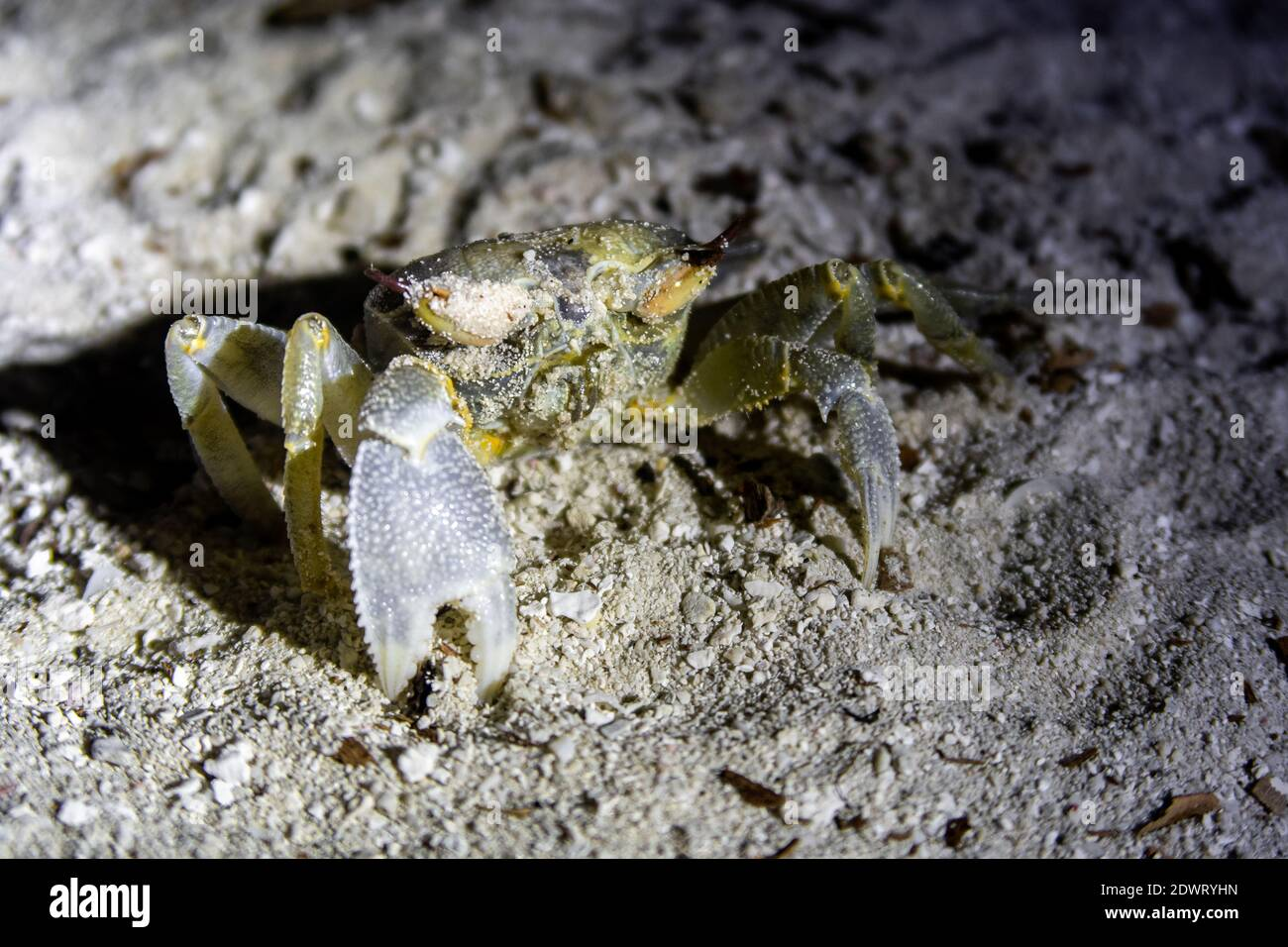 Horned ghost crab (Ocypode ceratophthalma) standing on sandy beach at night, Maldives, close-up. Stock Photo