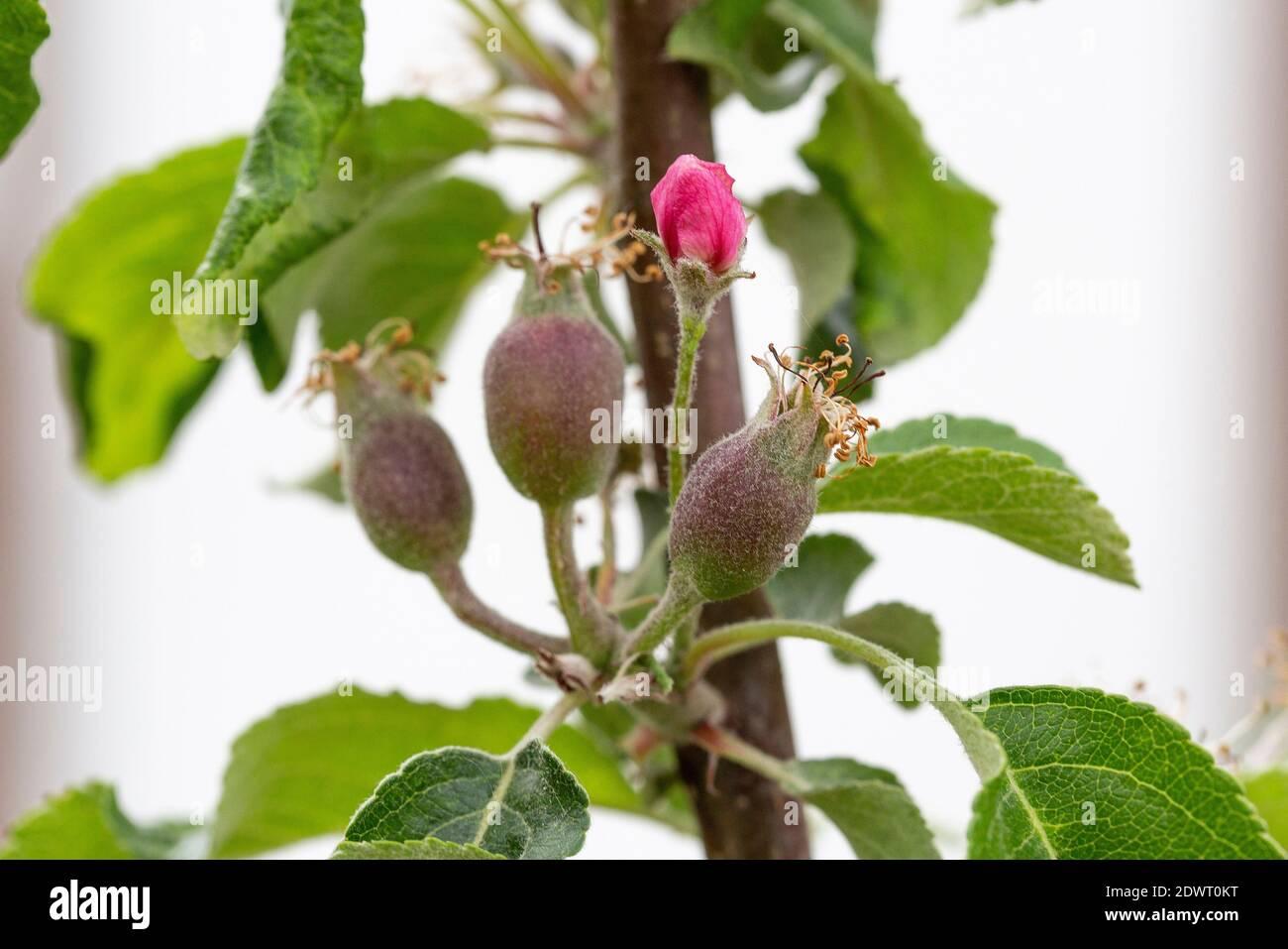 Apfel, Blüte und Fruchtansatz Stock Photo
