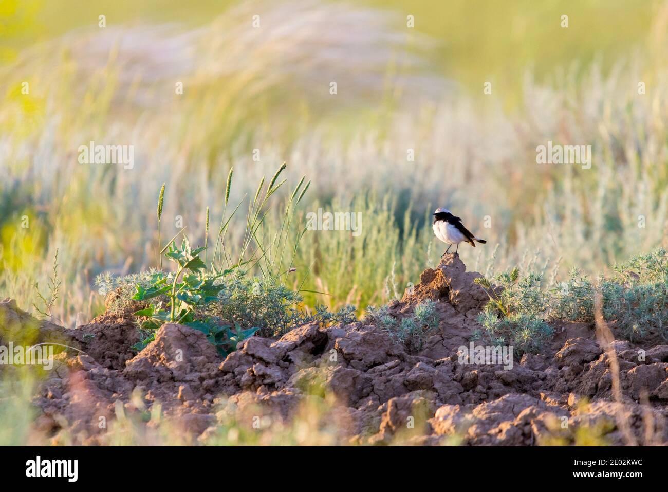 Pied wheatear or Oenanthe pleschanka in natural habitat. Stock Photo