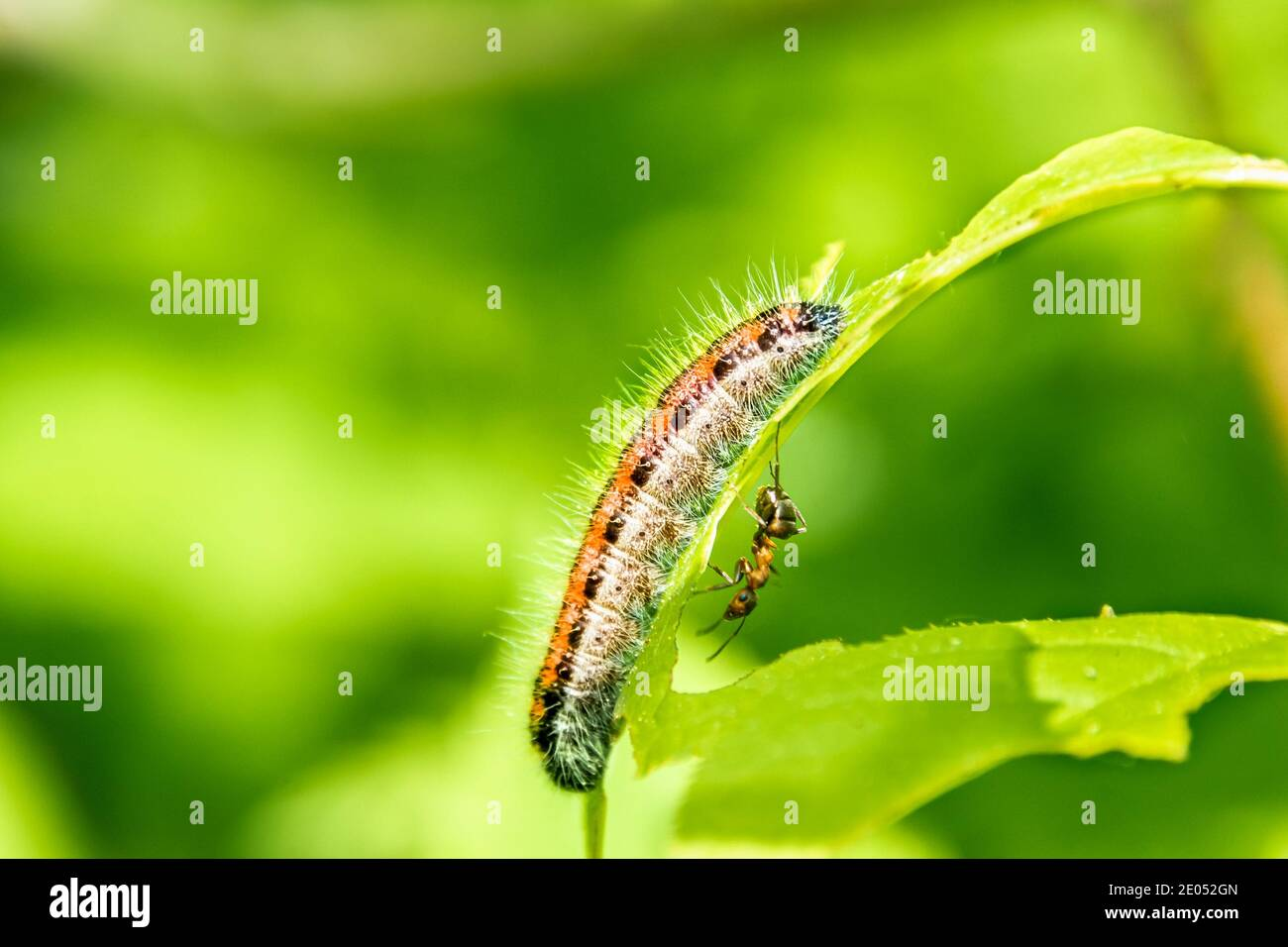 An orange haired caterpillar sits on a leaf on the other side an ant is walking, selective focus Stock Photo