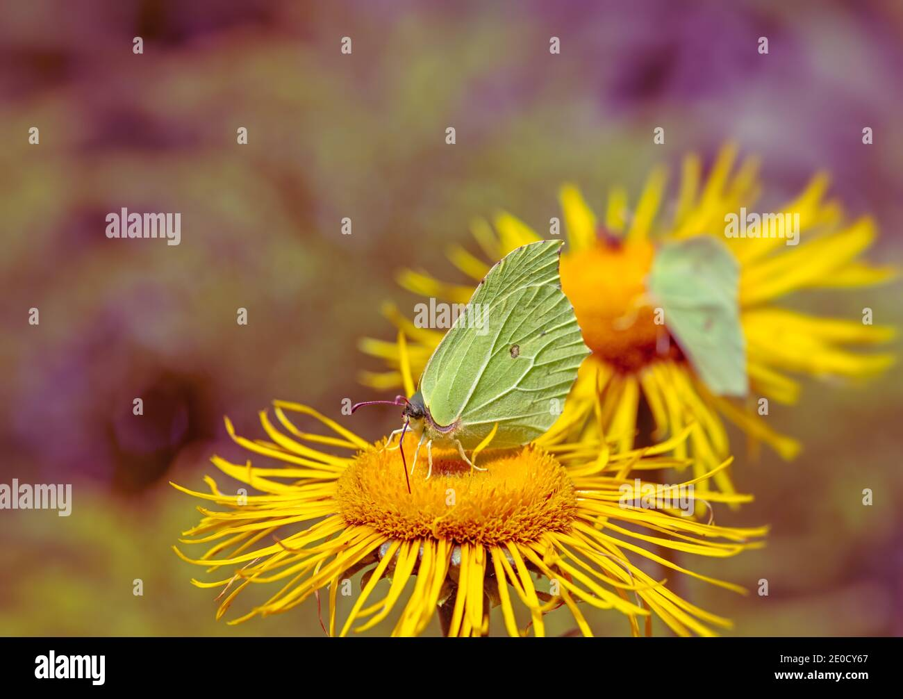 Brimstone butterfly on the blossoms of a yellow flower Stock Photo