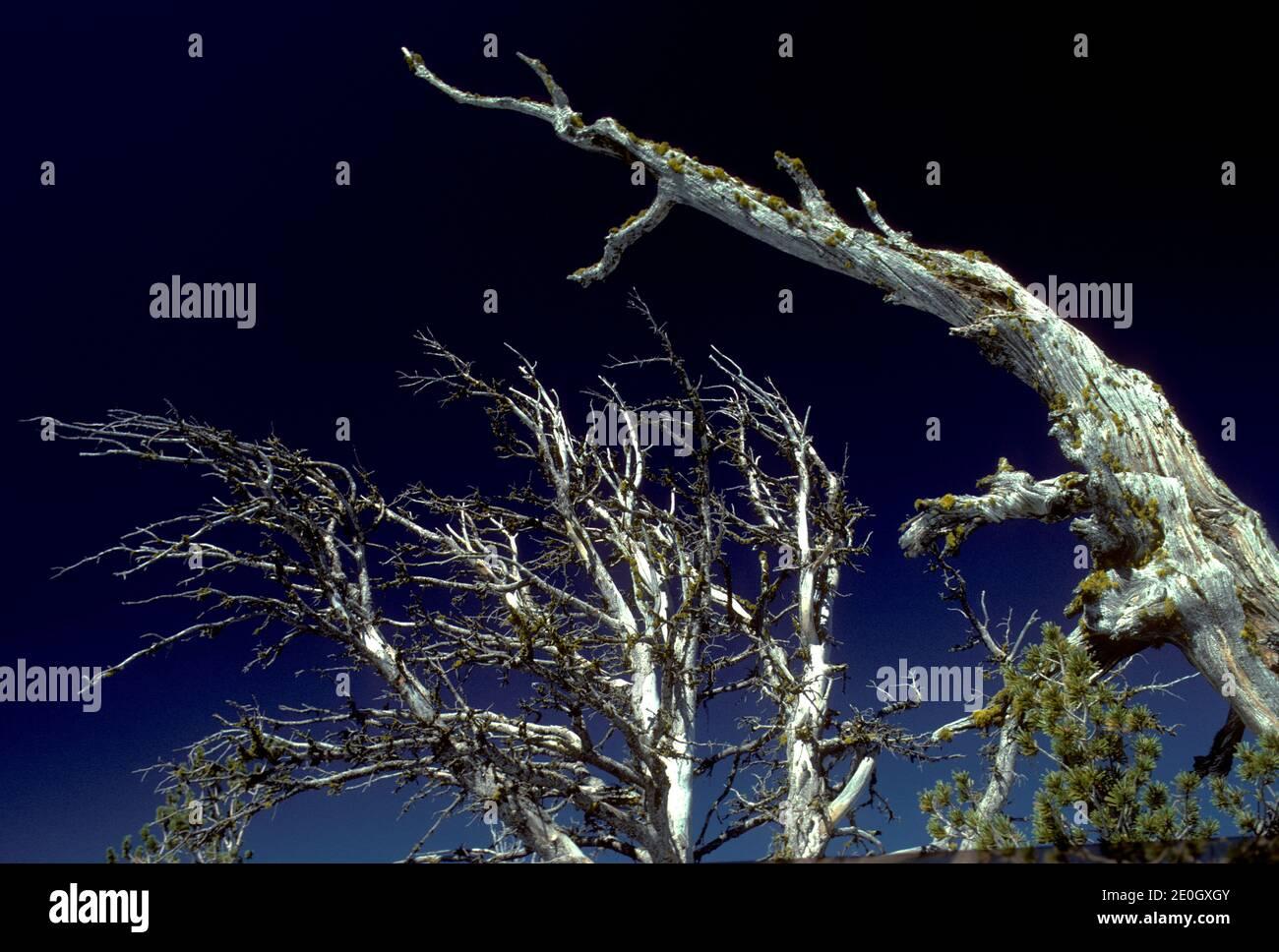 Whitebark pine (Pinus albicaulis; Boulder Mountains, Idaho Stock Photo