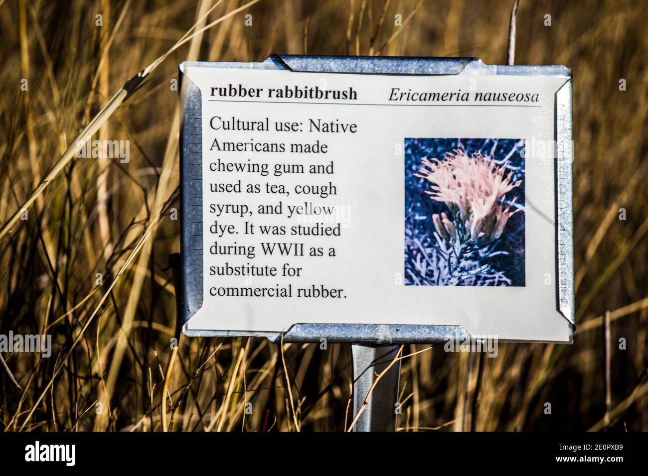 Information plaque about rubber rabbitbrush (Ericameria nauseosa). Flora of the Little Bighorn Battlefield National Monument. Crow Agency, Montana, Stock Photo