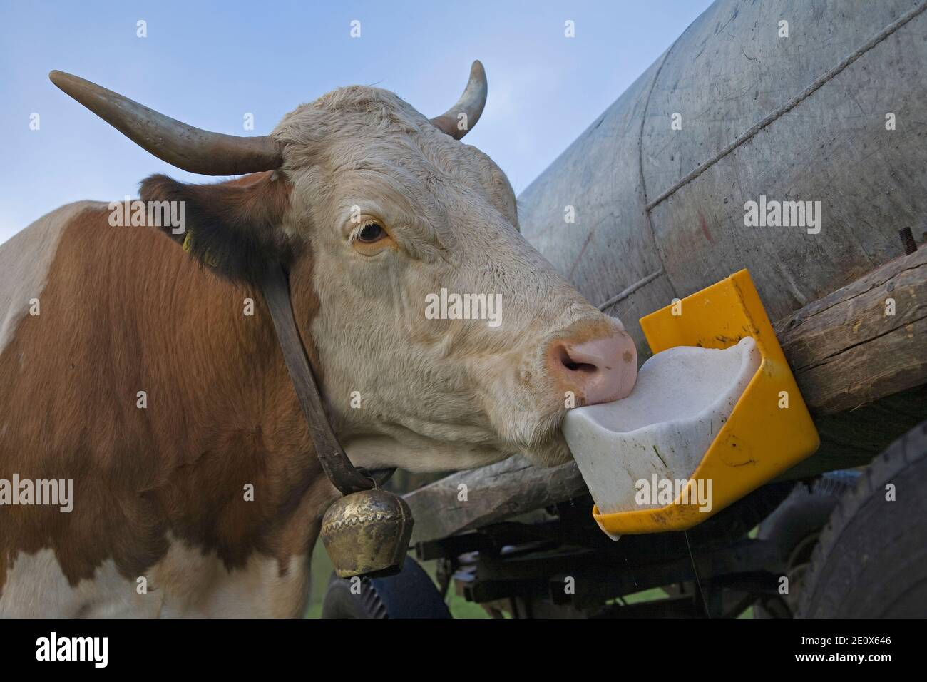 Salt Lickstone On The Water Barrel, The Cow Enjoys This Special Treat Stock Photo