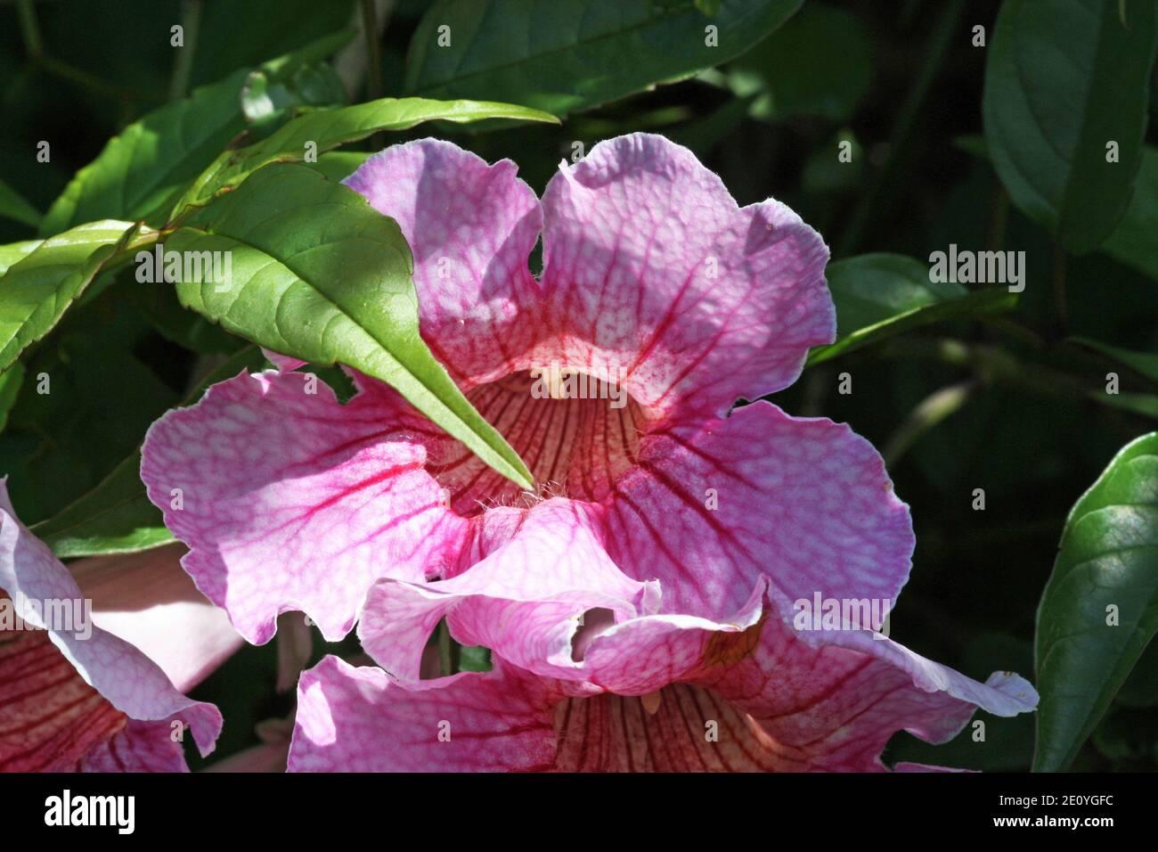 rosa Trompetenwein Stock Photo
