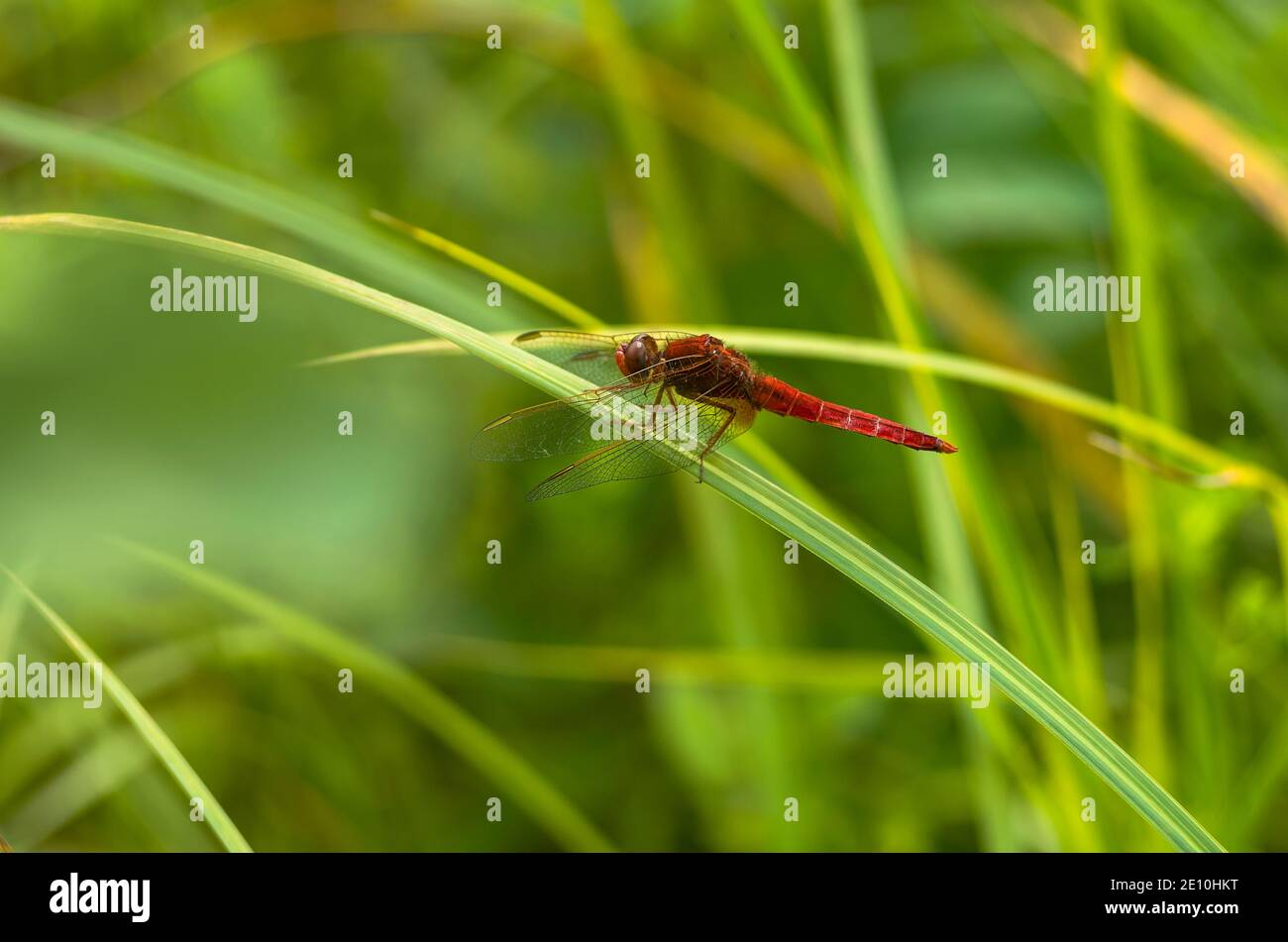 Male Scarlet dragonfly (Crocothemis erythraea)  sitting on a leaf of grass Stock Photo