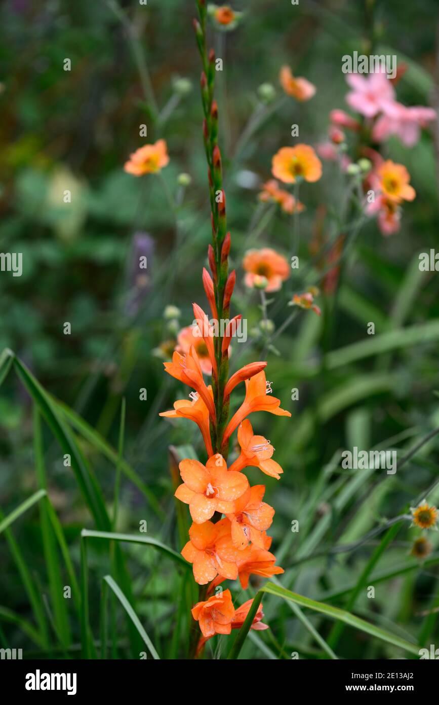 Watsonia Pyramidata Peach Glow High Resolution Stock Photography ...