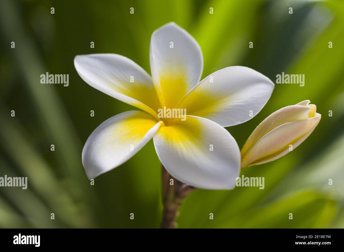 """Plumeria flowers, a fragrant blossom deeply tied to Hawaii and its culture, also called """"""""frangipani Stock Photo"""