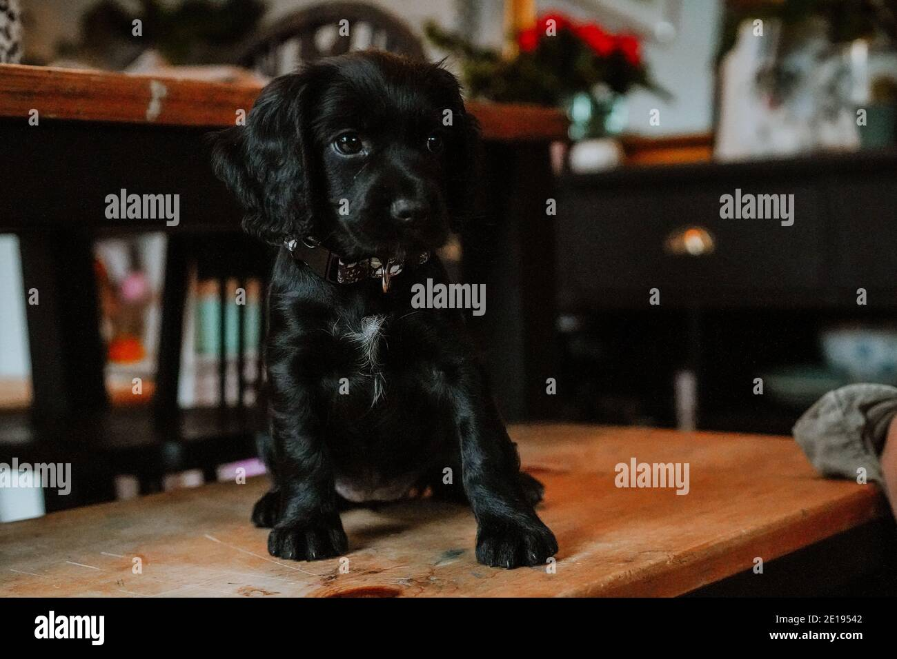 Black working cocker spaniel puppy at home Stock Photo