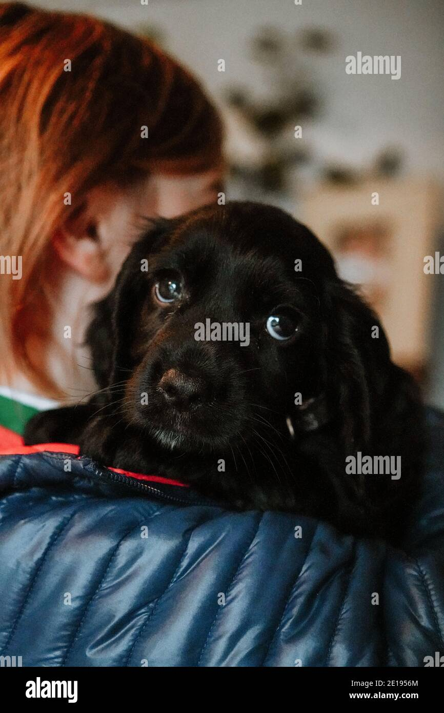 Black working cocker spaniel puppy at home with young girl Stock Photo