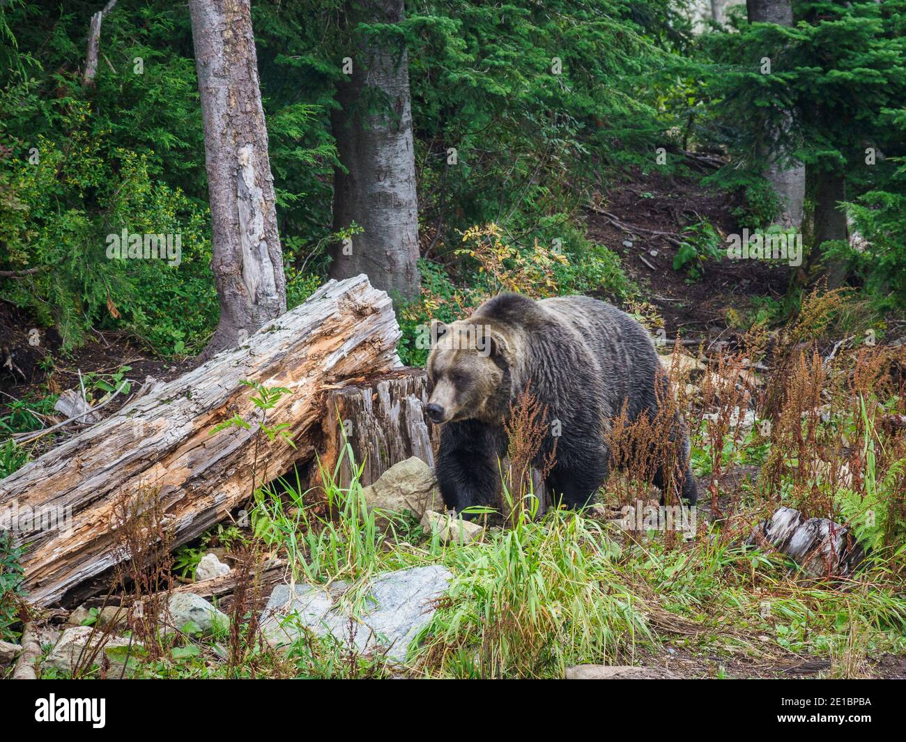 Grinder & Coola Grizzly Bears, Grouse Mountain, Vancouver, British Columbia, Canada Stock Photo