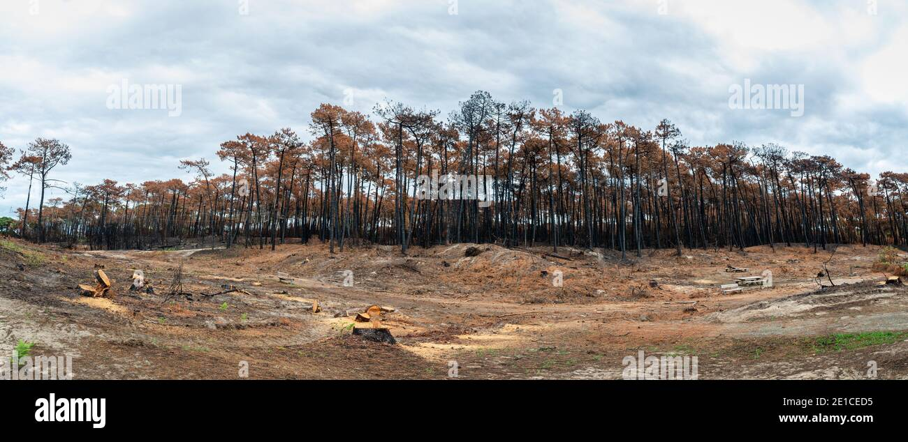 The Chiberta forest a few weeks after the fire, in France Stock Photo