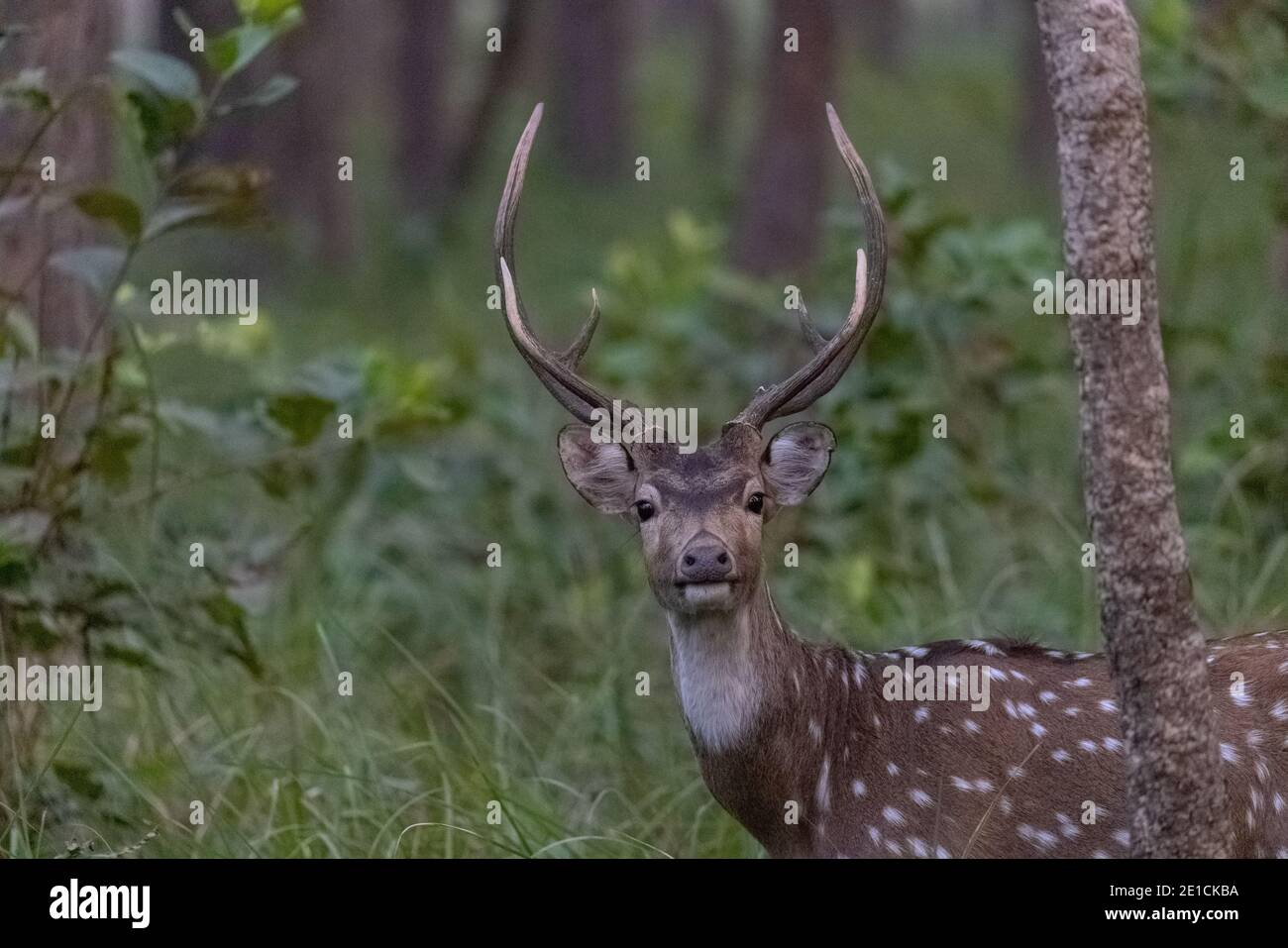 Spotted Deer or Chital (Axis axis) standing in the lush green forest, is a species of deer that is native to the Indian subcontinent. Stock Photo