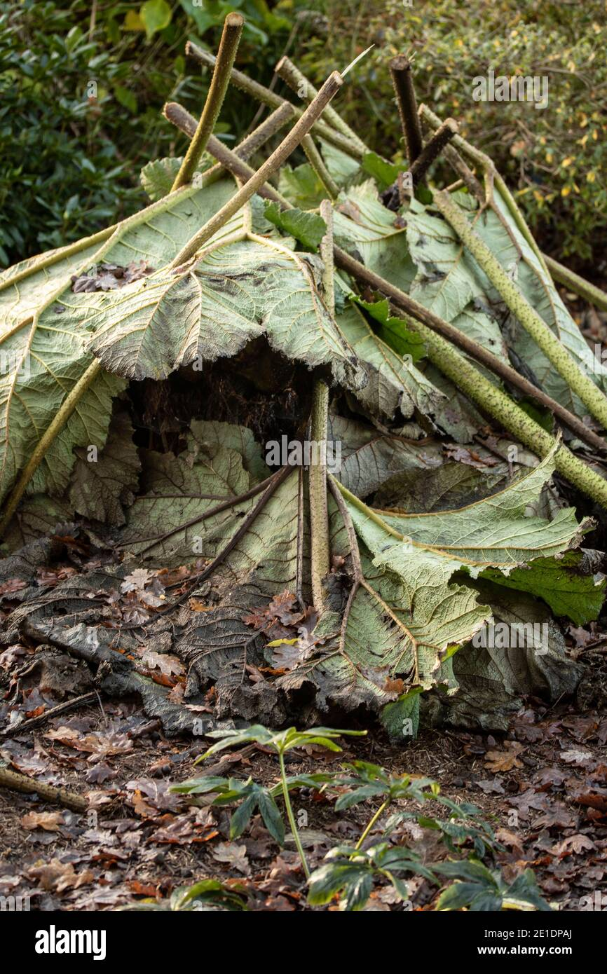 Gunnera Tinctoria leaves covering root of plant in preparation for winter Stock Photo