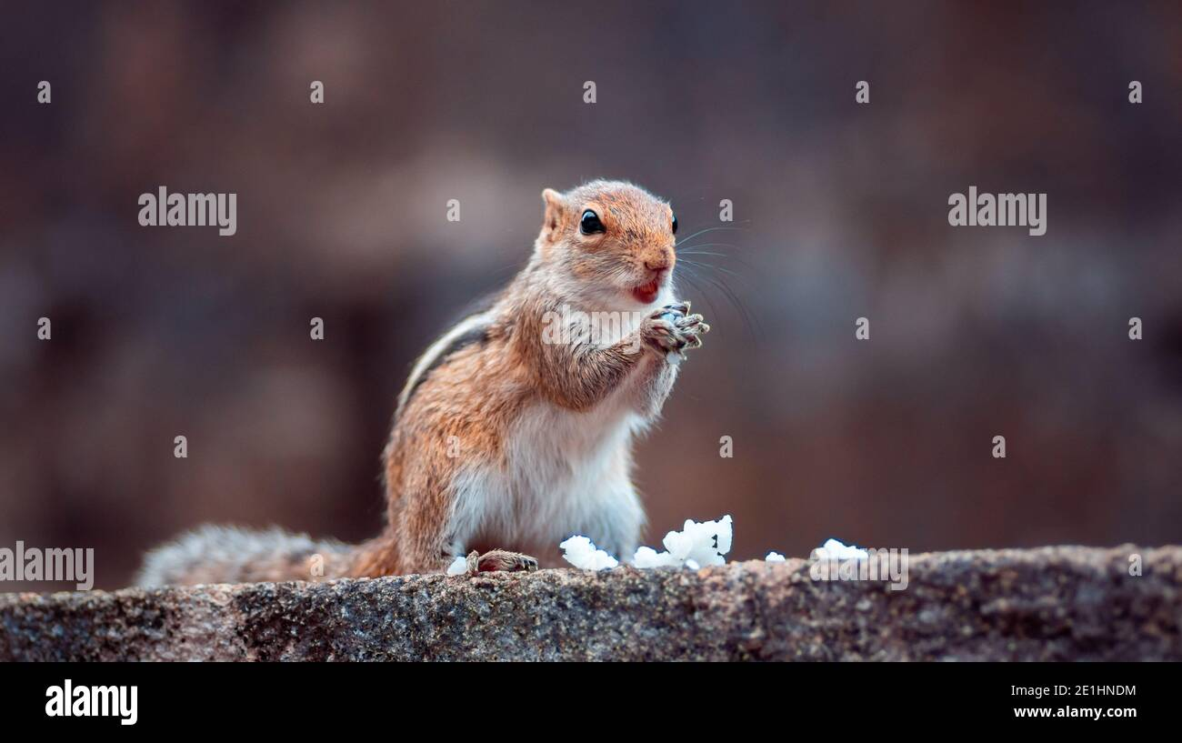 Cute young female squirrel holding white rice in both hands, eating a meal while on full alert of the surrounding, standing in a wall. Stock Photo