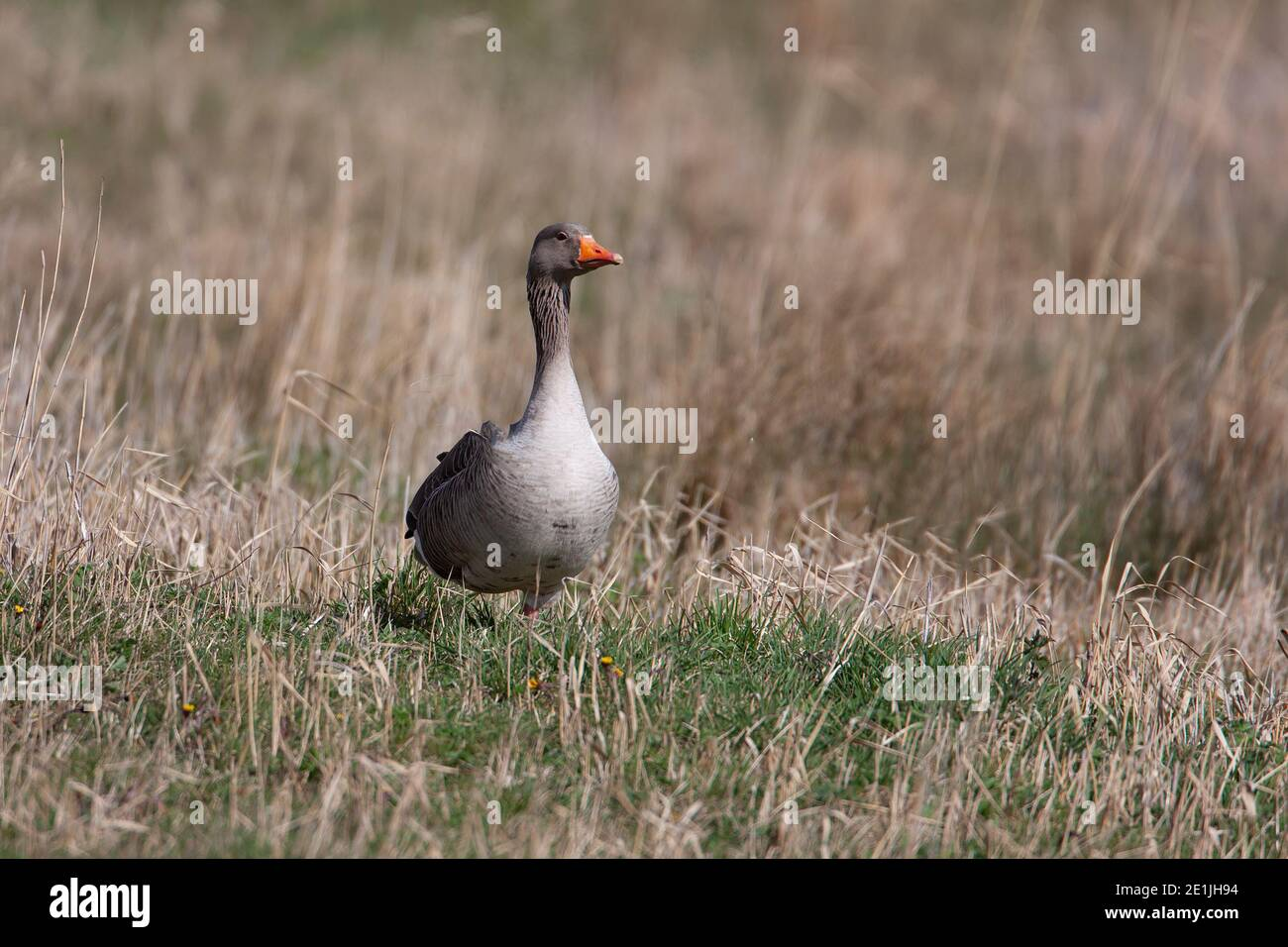 Single Grey Lag goose Anser anser on dry coarse grass in the Lincolnshire countryside Stock Photo