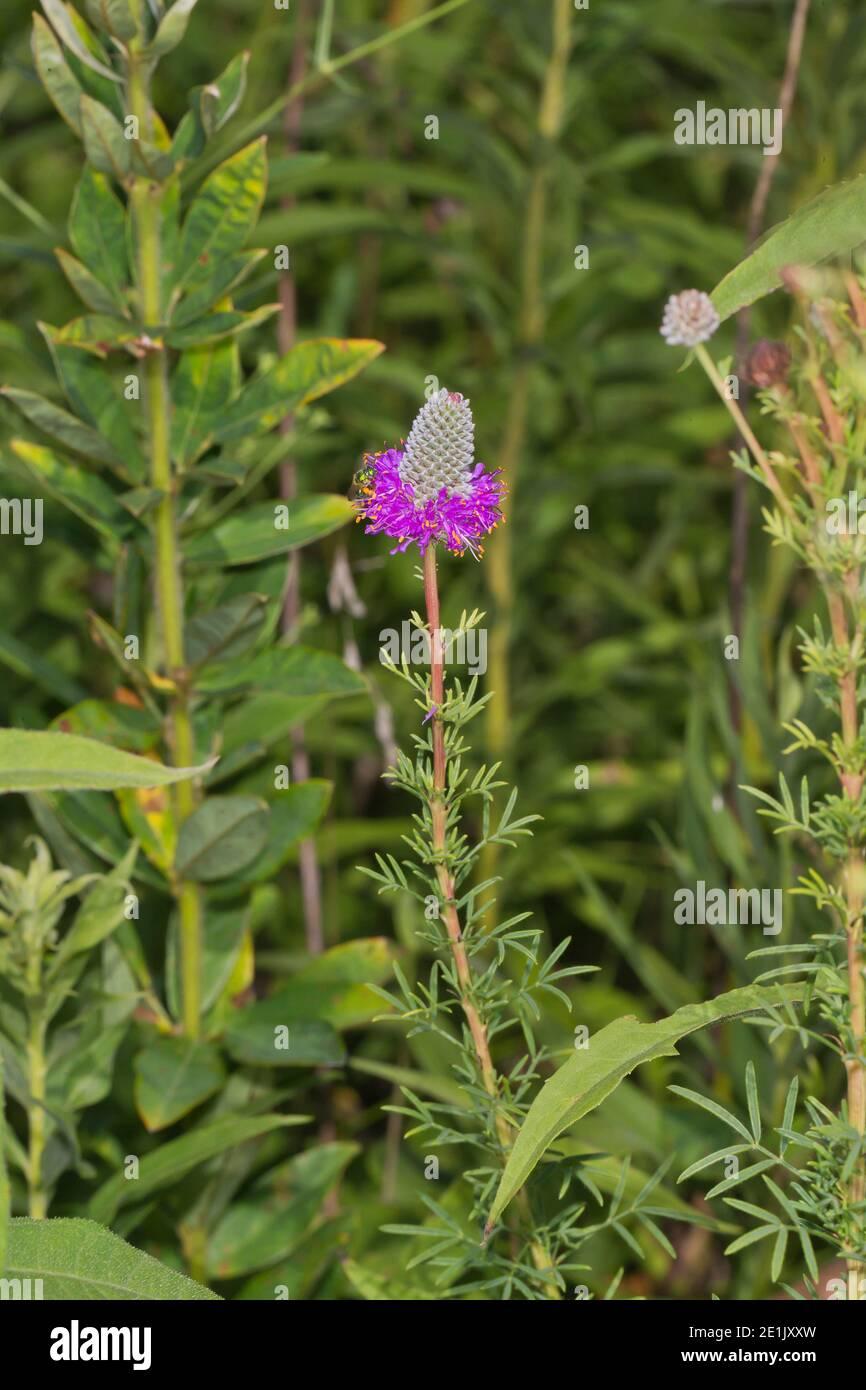 Purple Prairie Clover, Dalea purpurea Stock Photo