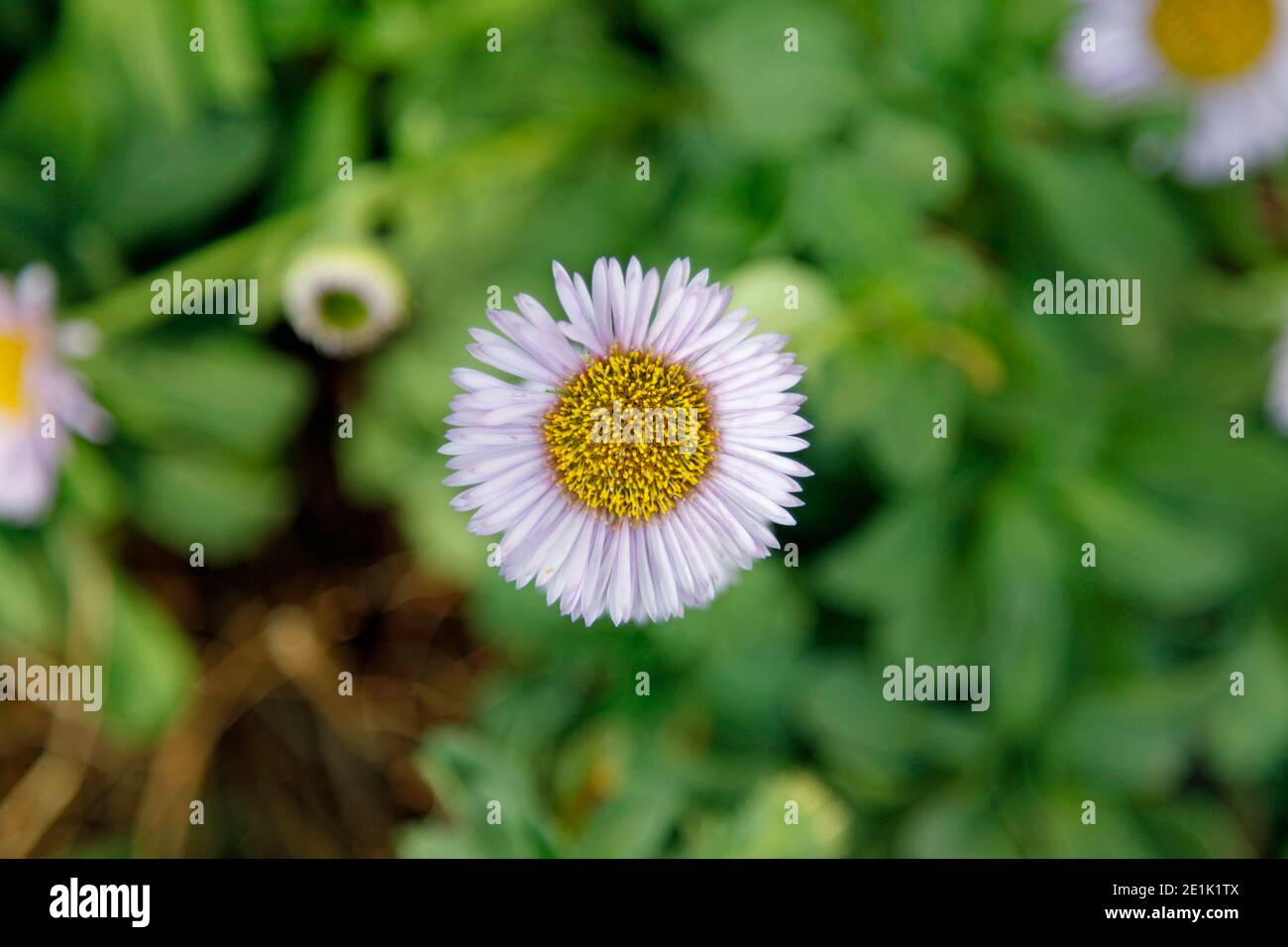 Single lilac Seaside Aster (or Seaside Daisy) with the background out of focus Stock Photo