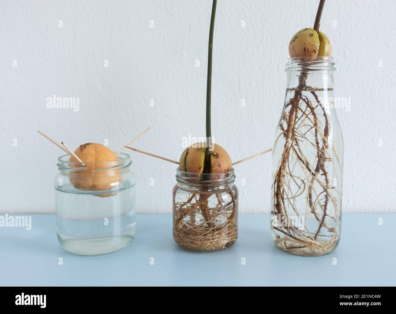 Image showing different stages of Avocado seed/stones growing in ...