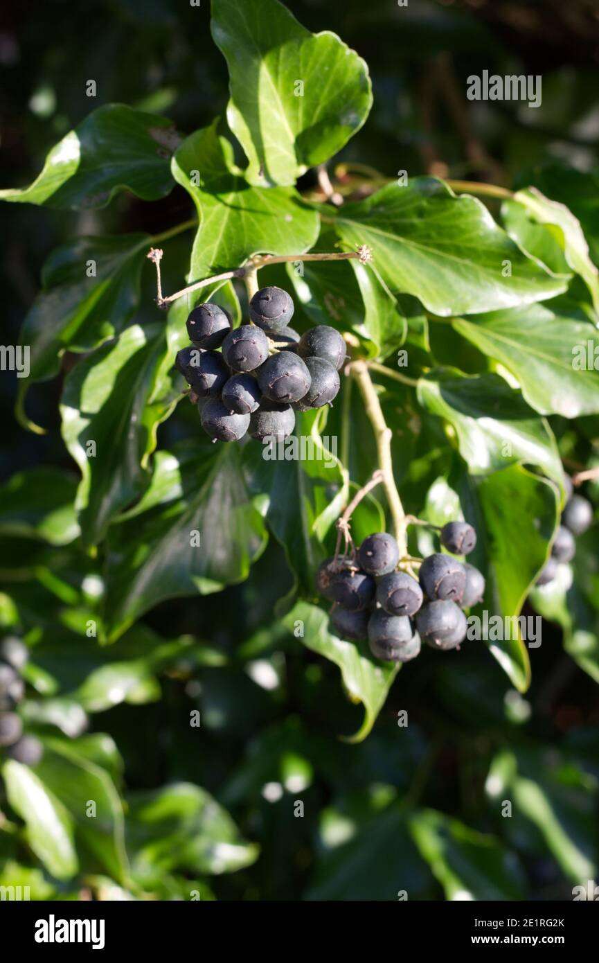 Hedera, or Ivy, with black berries forming a hedge, pictured in winter, UK Stock Photo