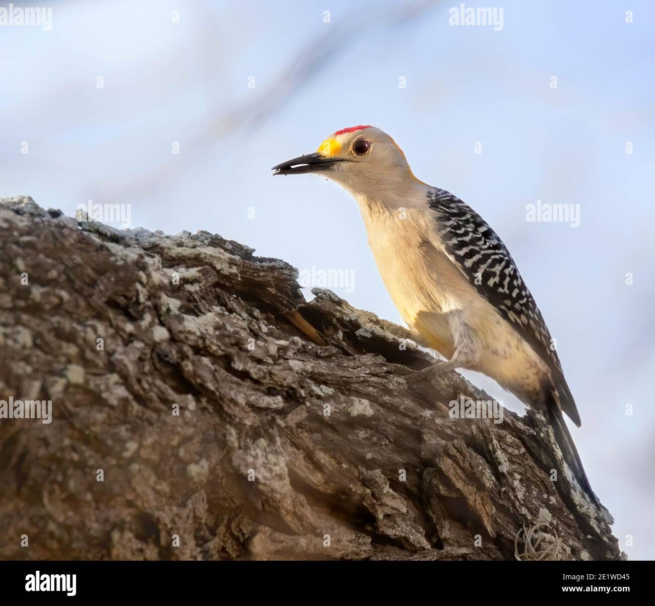 Golden fronted woodpecker (Melanerpes aurifrons) at Choke canyon Statre park Stock Photo