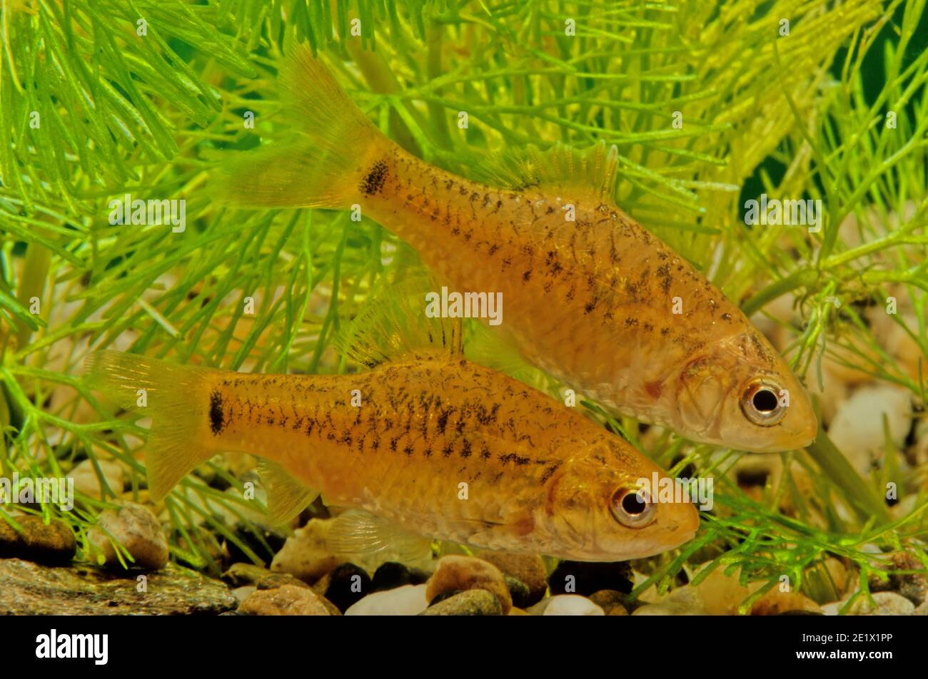 Barbodes semifasciolatus, the Chinese barb, is a species of cyprinid fish native to the Red River basin in southeast Asia where they occur in fresh wa Stock Photo