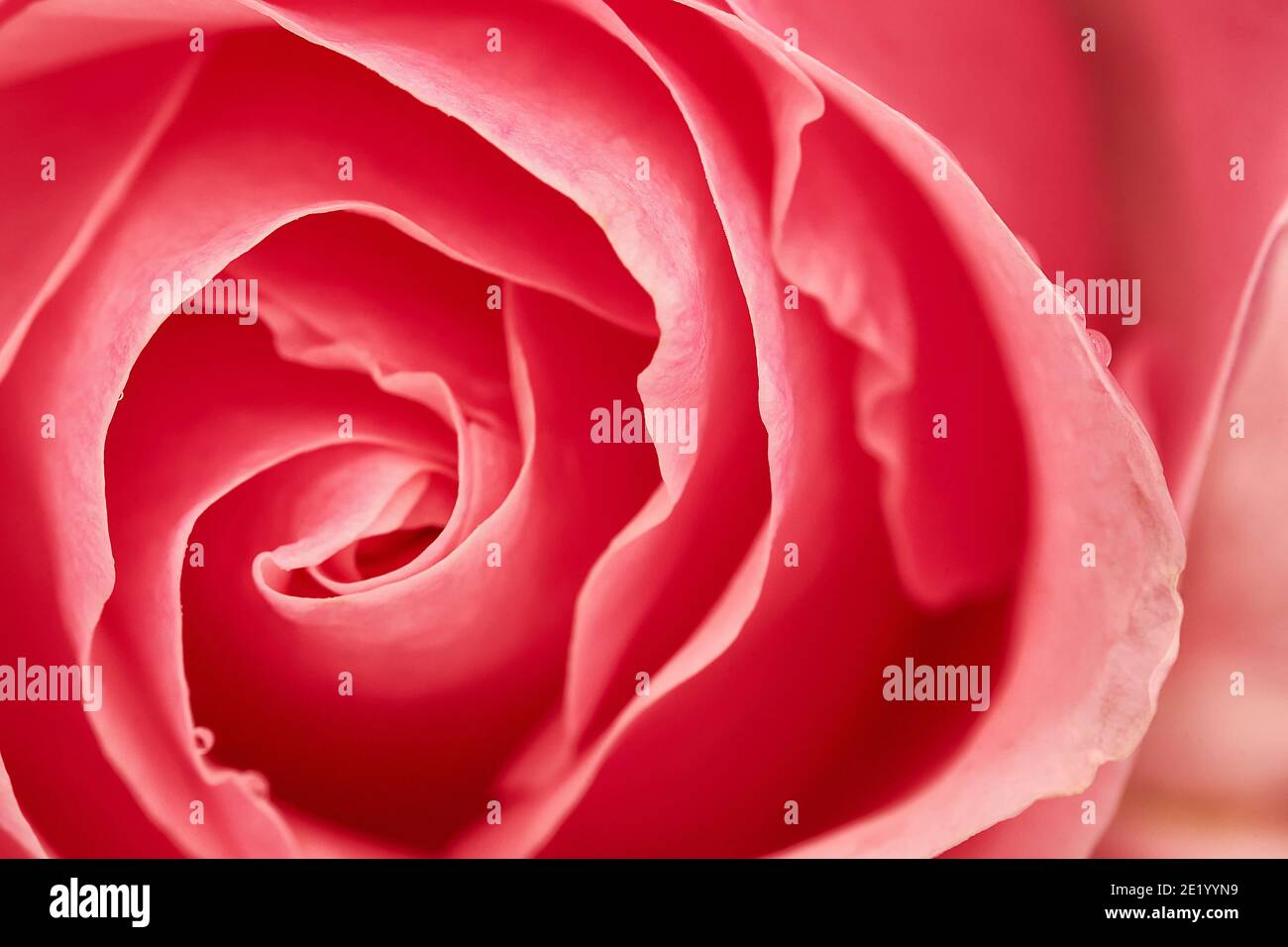 Pink flower seen from above, selective focus Stock Photo