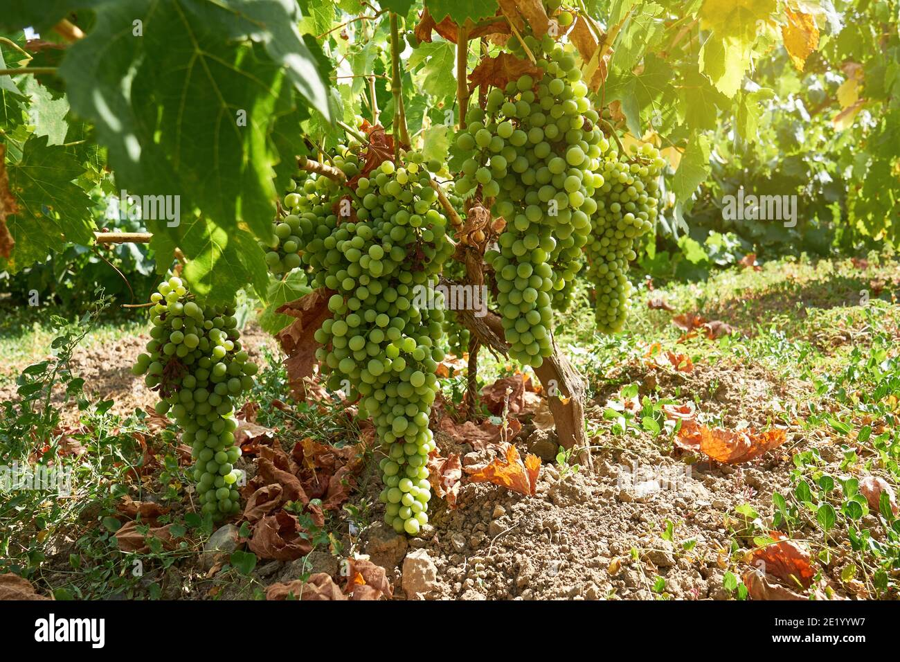 green grapes on the vine giving them the sun Stock Photo