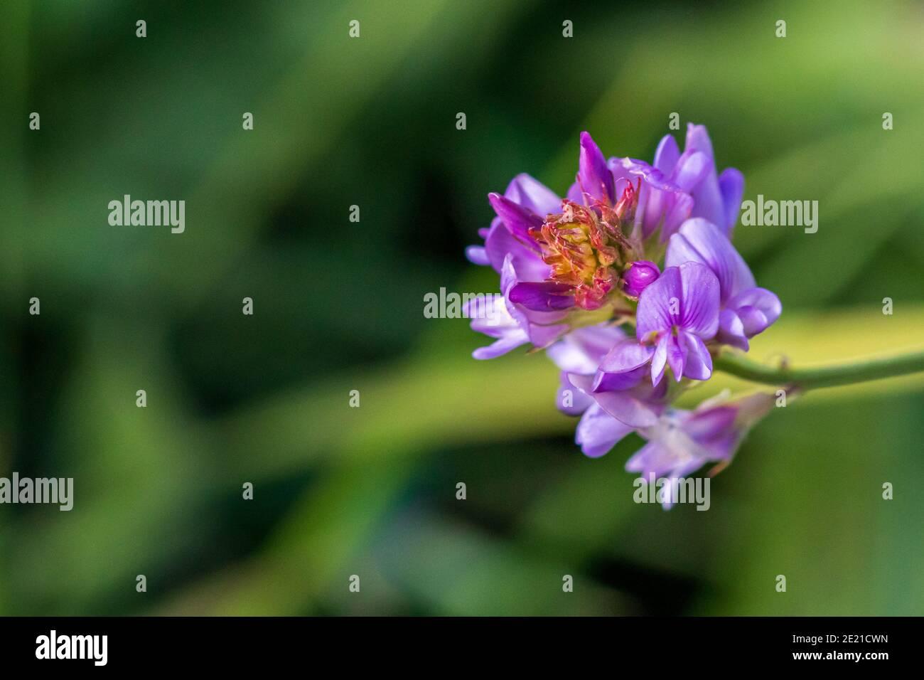Bituminaria bituminosa, Arabian Pea Plant in Flower Stock Photo